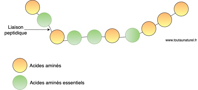 Schéma d'une protéine et de ses acides aminés